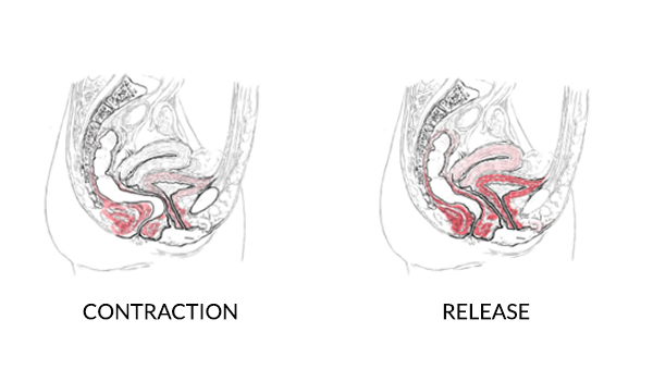 female pelvic floor contraction and release